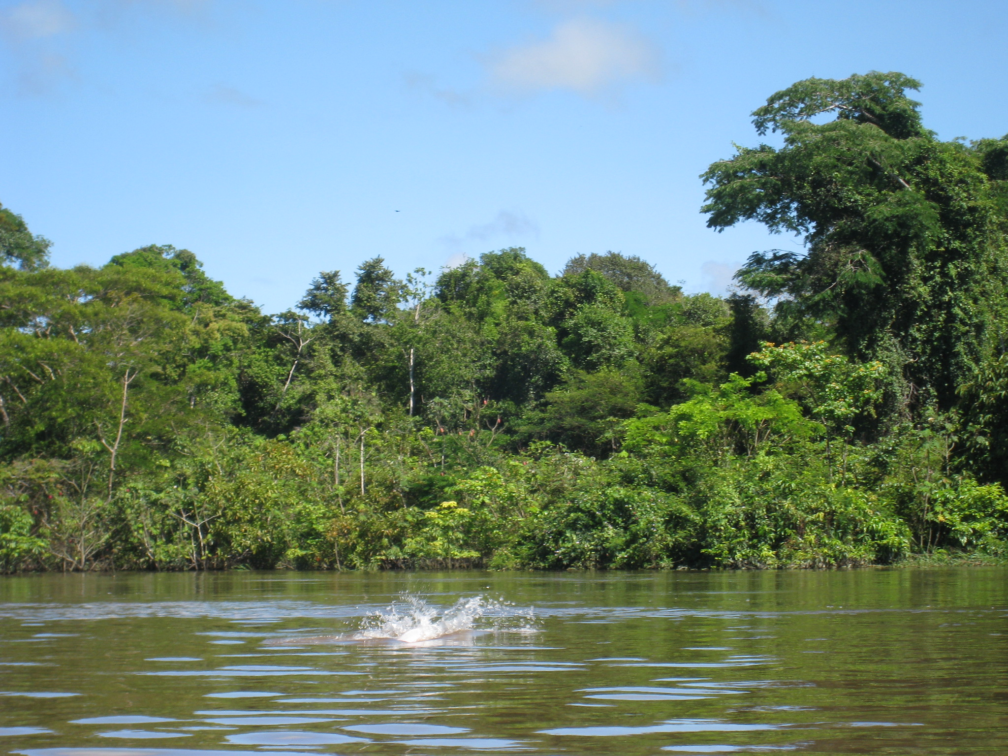 Pink River Dolphin